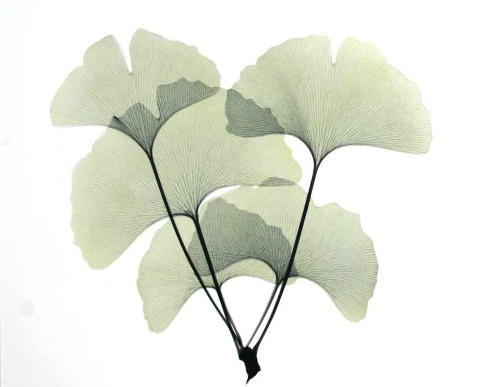 Ginkgo L165 Color