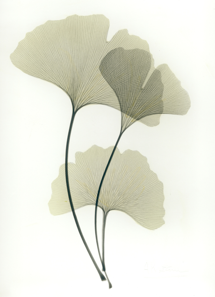 Ginkgo E204 Color
