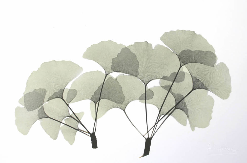 Ginkgo L313 Color