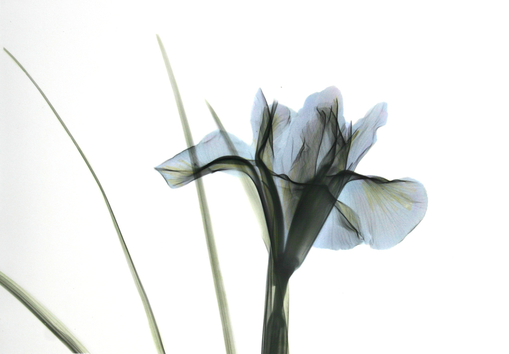 Iris B51 Color