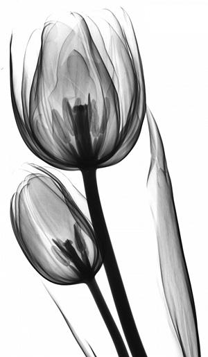 Tulips X1