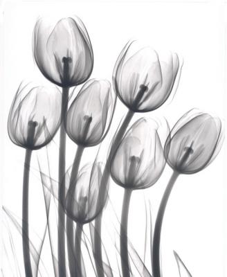 Tulips C16