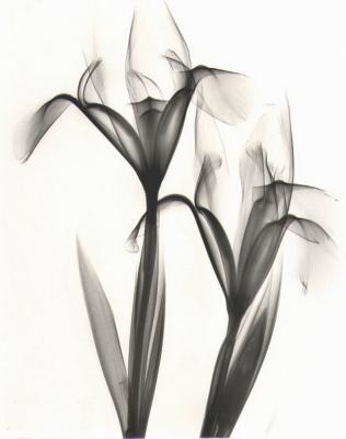 Iris B81