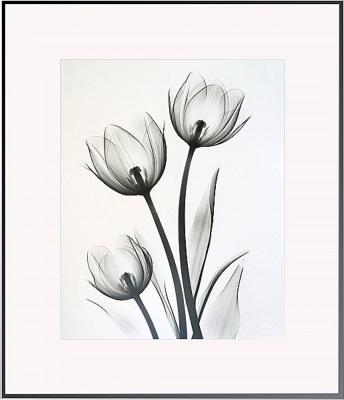 Tulips C68