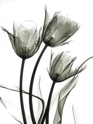 Tulips X5