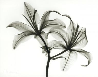 Lily B65