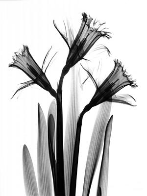 Daffodils C18