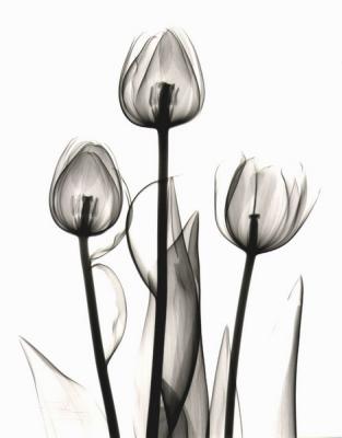 Tulips C53