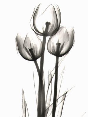 Tulips C15