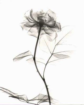 Rose D22