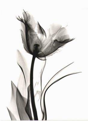 Tulip H30