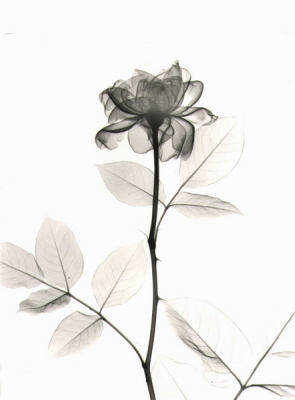 Rose D19