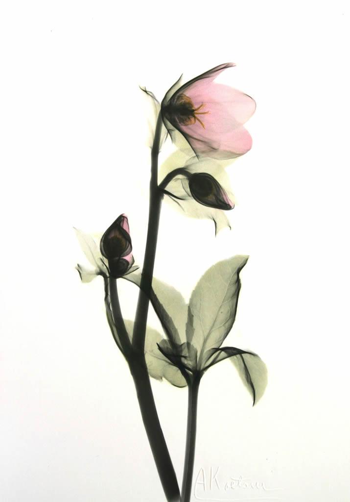 Helleborus H75 Color