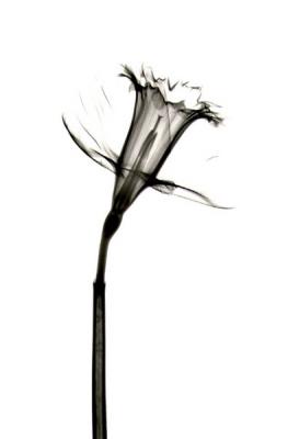 Daffodil B52