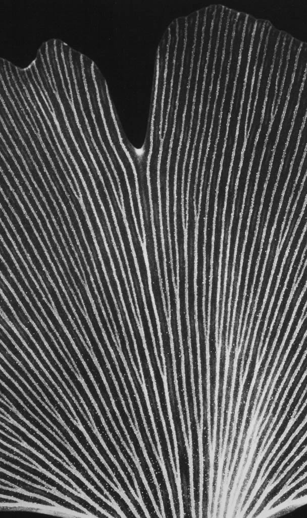 Triptych P1 Detail (Ginkgo Leaf)