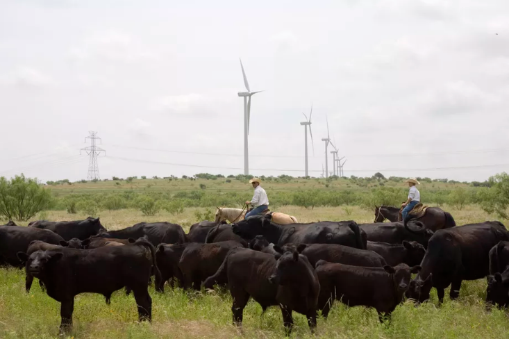 Ranchers herd cattle near the Lone Star Wind Farm north of Abilene, Texas. The state has immense potential for integrating renewable energy on its grid since its wind and sunlight complement each other so well.  Robert Nickelsberg/Getty Images