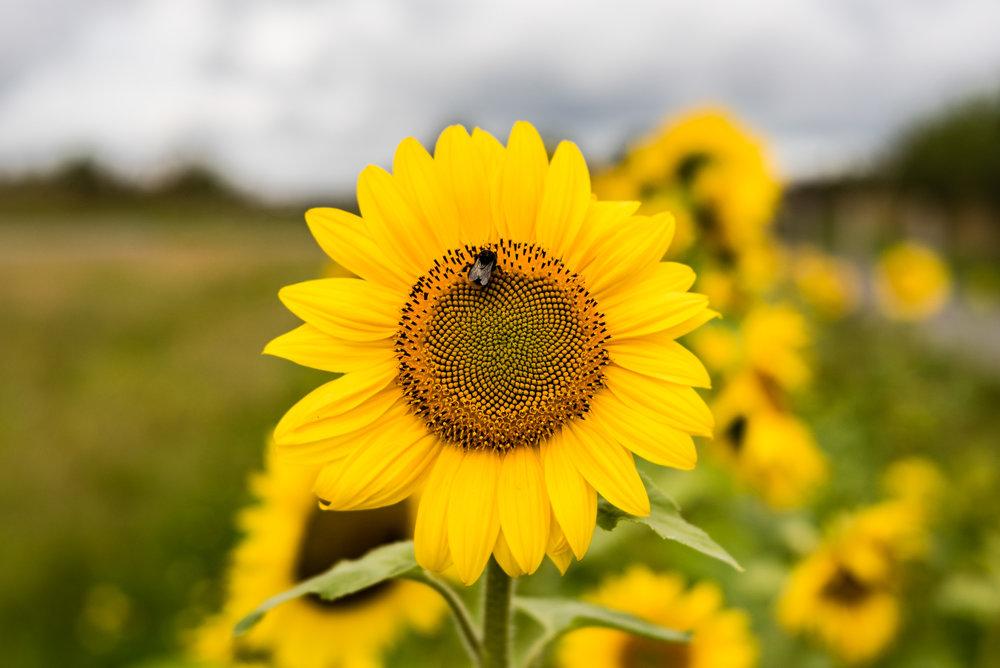 20170823-Lensbaby Velvet 56 - Devon Sunflower.jpg