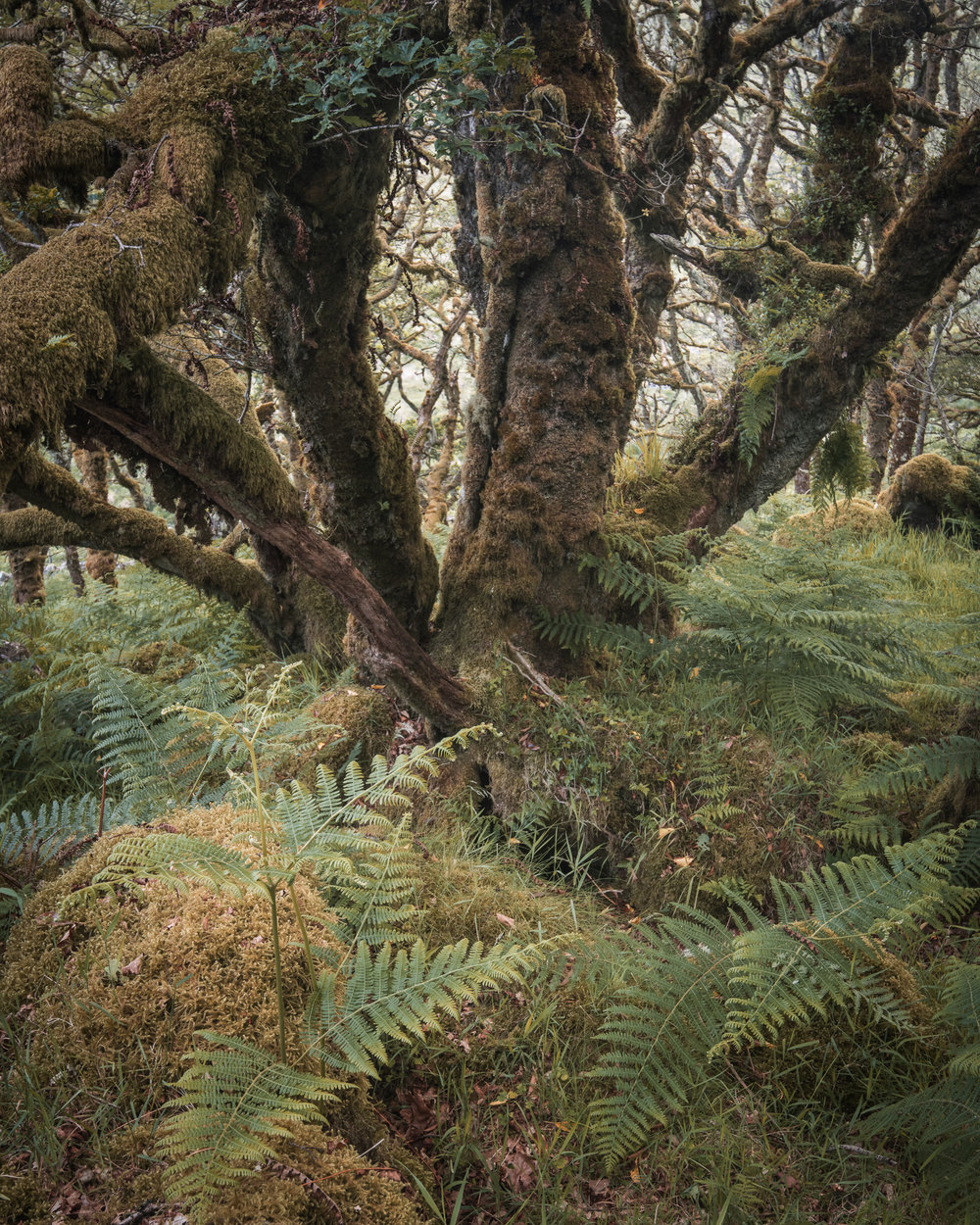 Wistman's Wood, Dartmoor, Devon