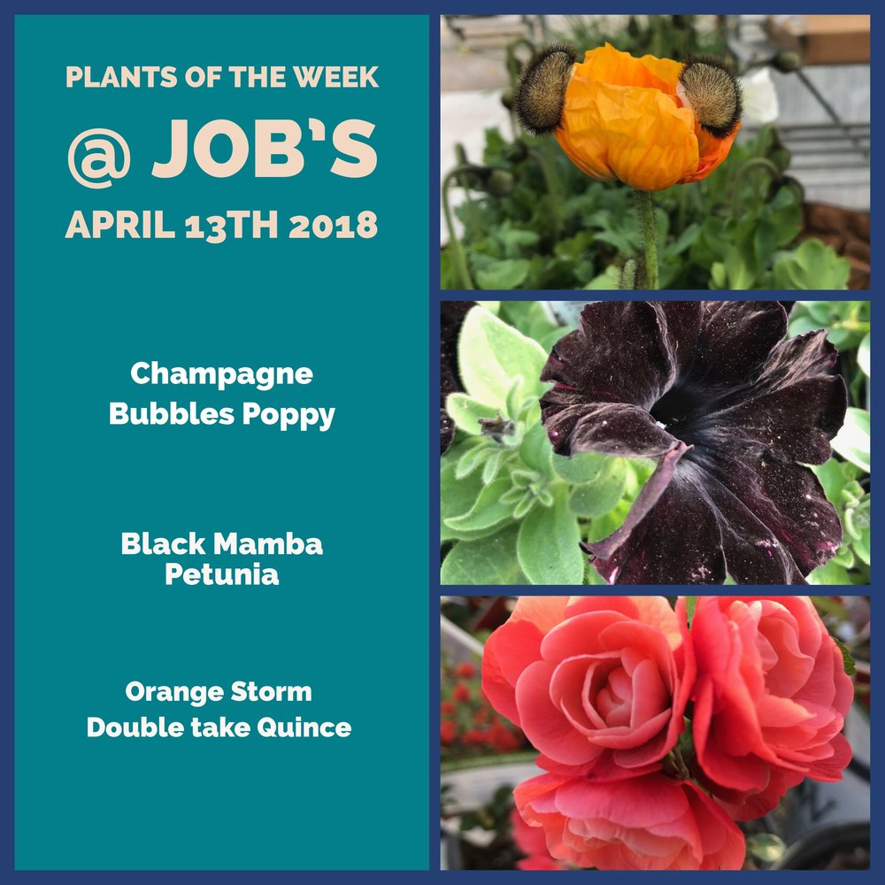 Plant Of The Week Of April 13th Jobs Nursery Llc