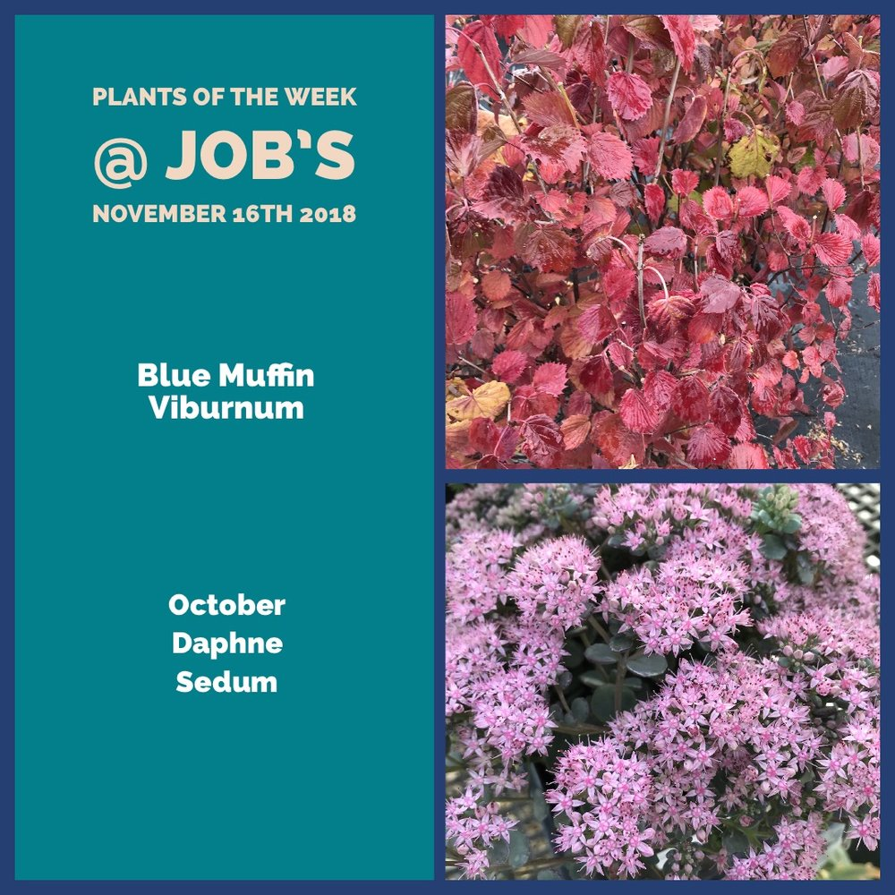 Plants For The Week Of November 16th Jobs Nursery Llc