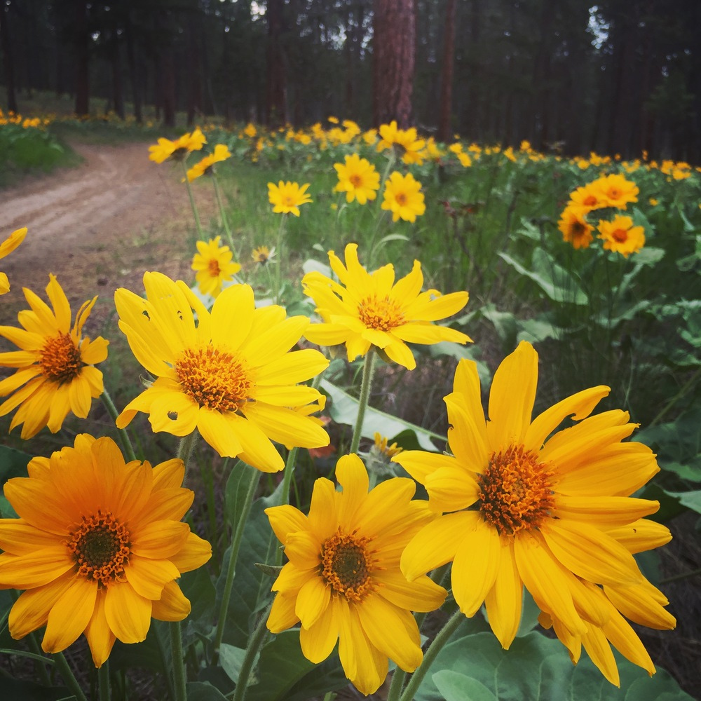 Balsamroot in #firstkelownaspring