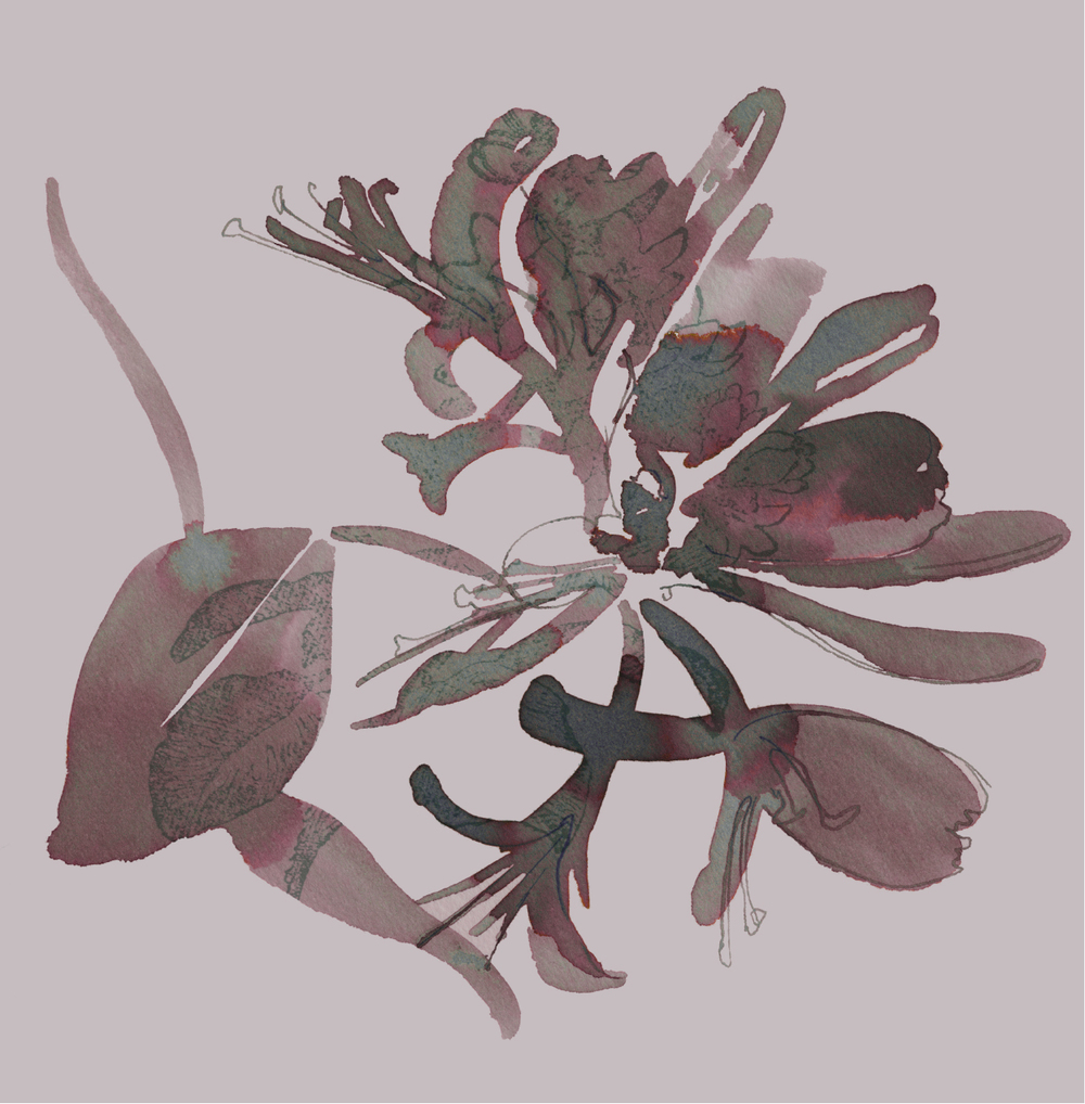 honeysuckle illustration