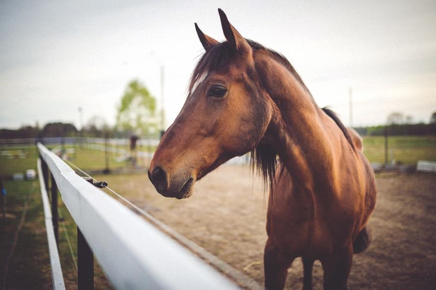 animal-brown-horse-large.jpg