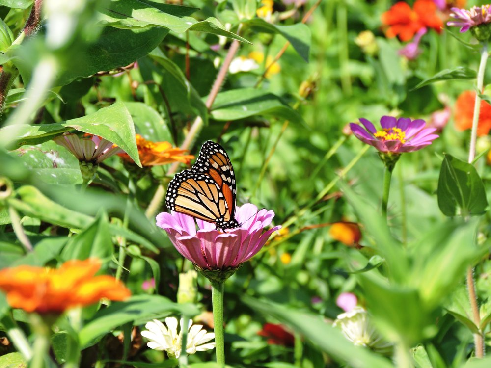 monarchbutterfly3.jpg