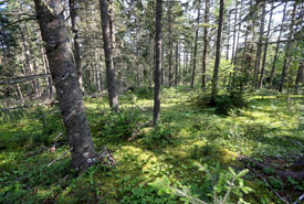 Acadian forest, Chignecto Isthmus, NS (Photo by Mike Dembeck)
