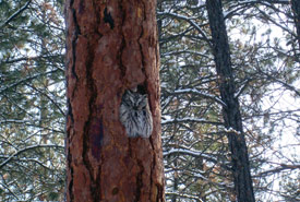 Western screech owl (Photo by Mark Weston)