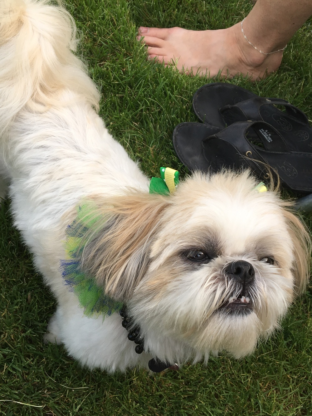 Lindsay's dog, Holly as a cheerleader for team Brazil