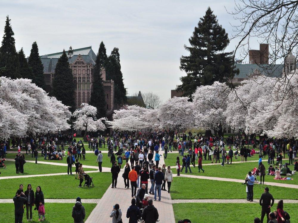 University_of_Washington_Quad_cherry_blossoms_2014_-_18_(13348002824)-min.jpg