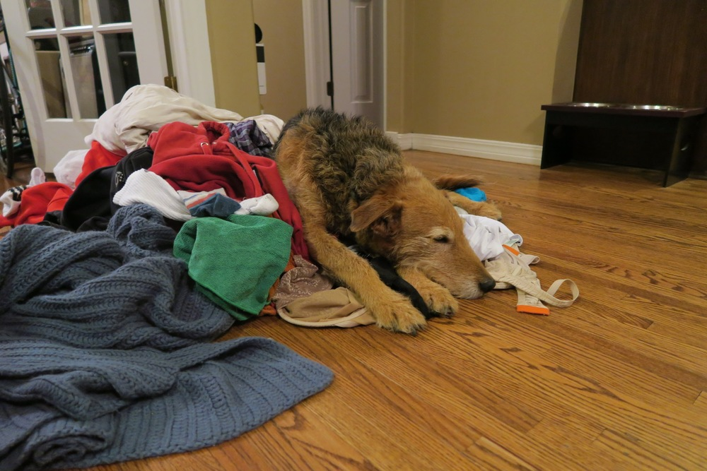 """Ziggy the Beast"" makes a bed in the piles of laundry! Good to know someone enjoyed it..."