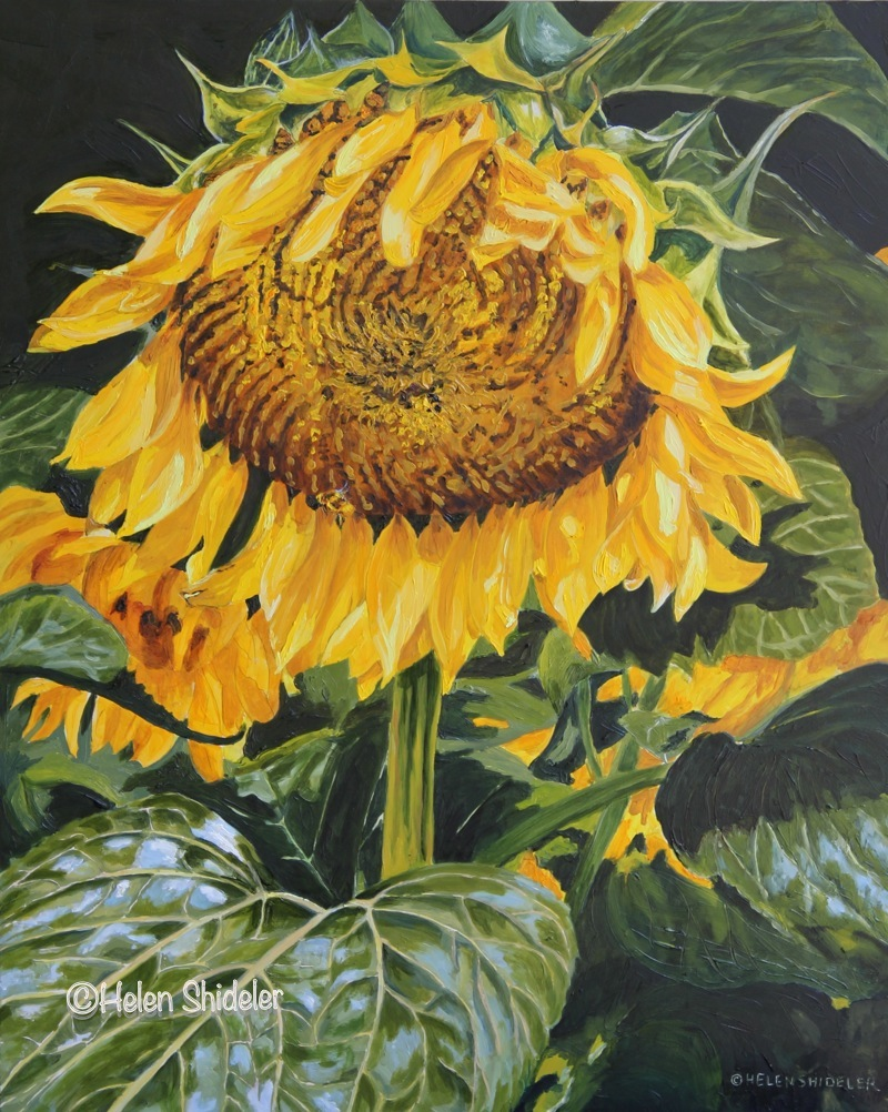 Sunflower painted in oils