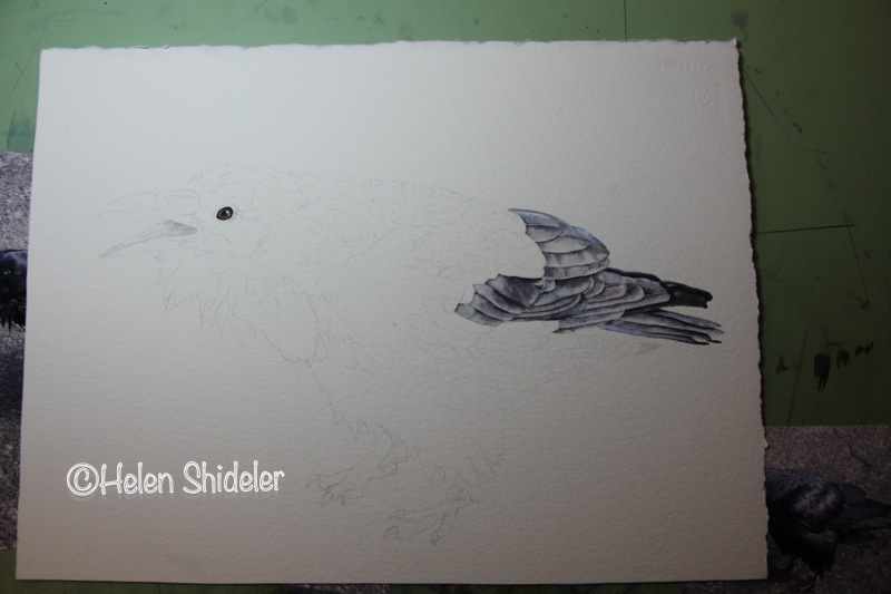 Call of the Raven WIP Helen Shideler