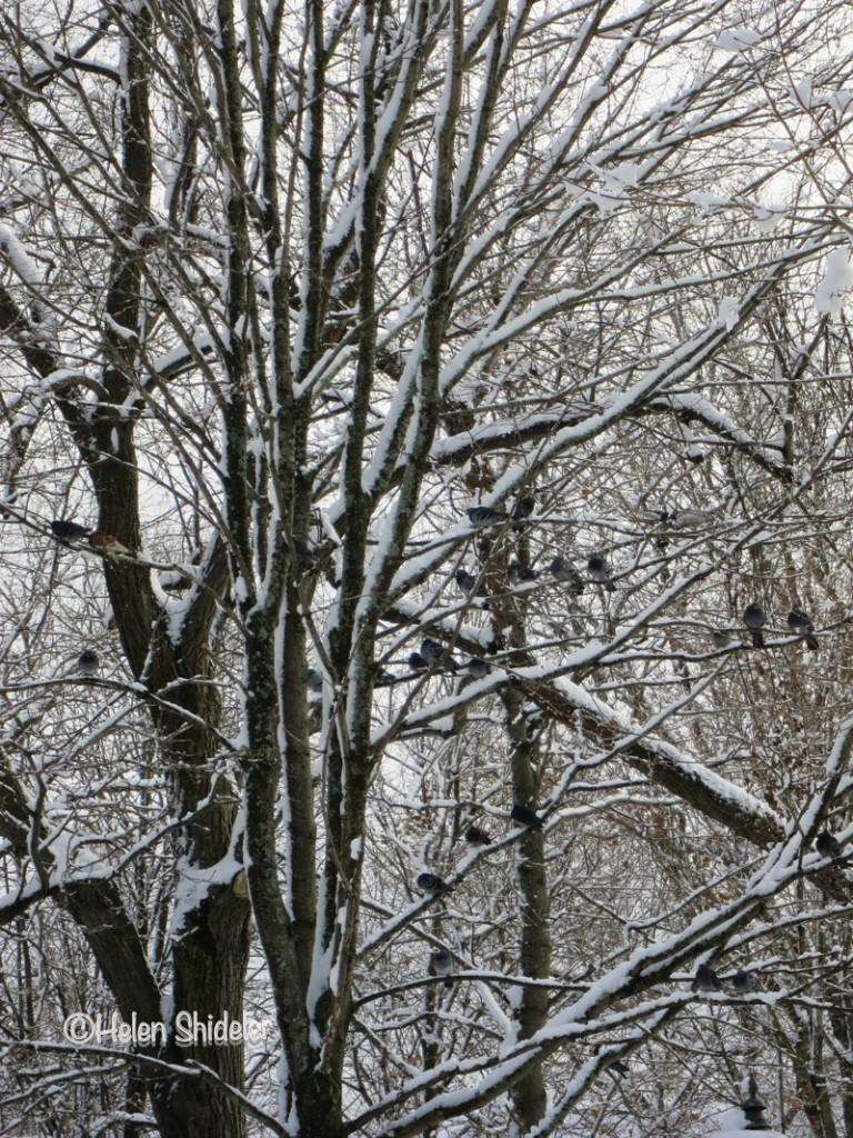Helen Shideler Pigeon Tree