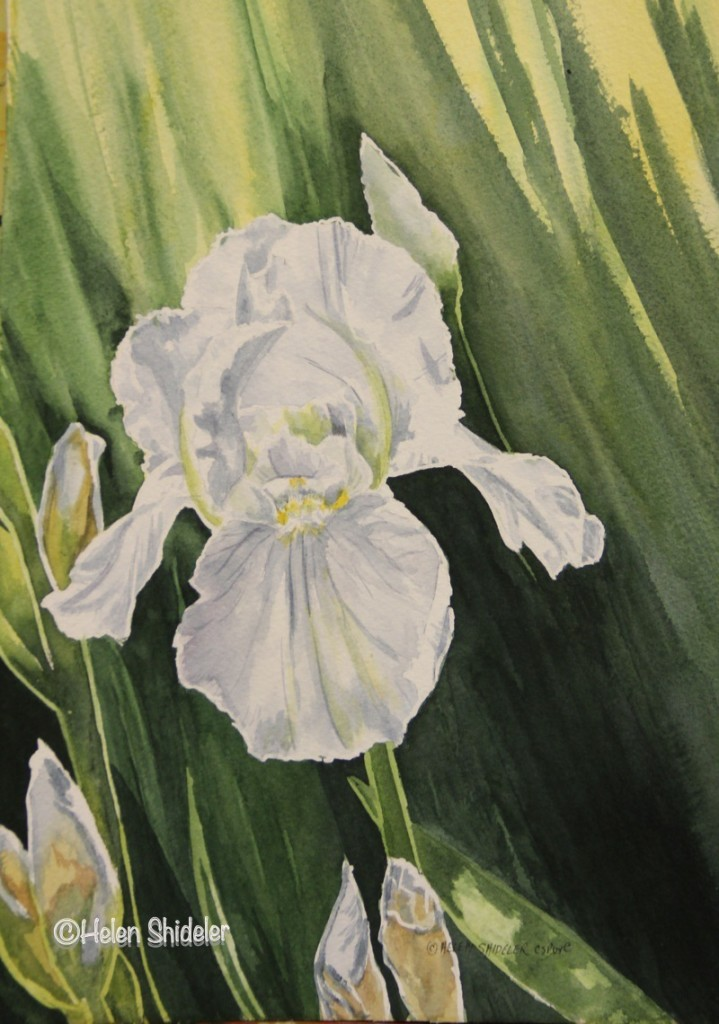 Immortality White Iris