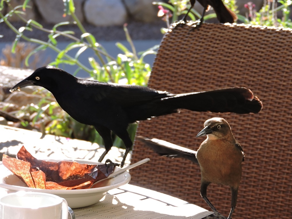 Grackle and friend