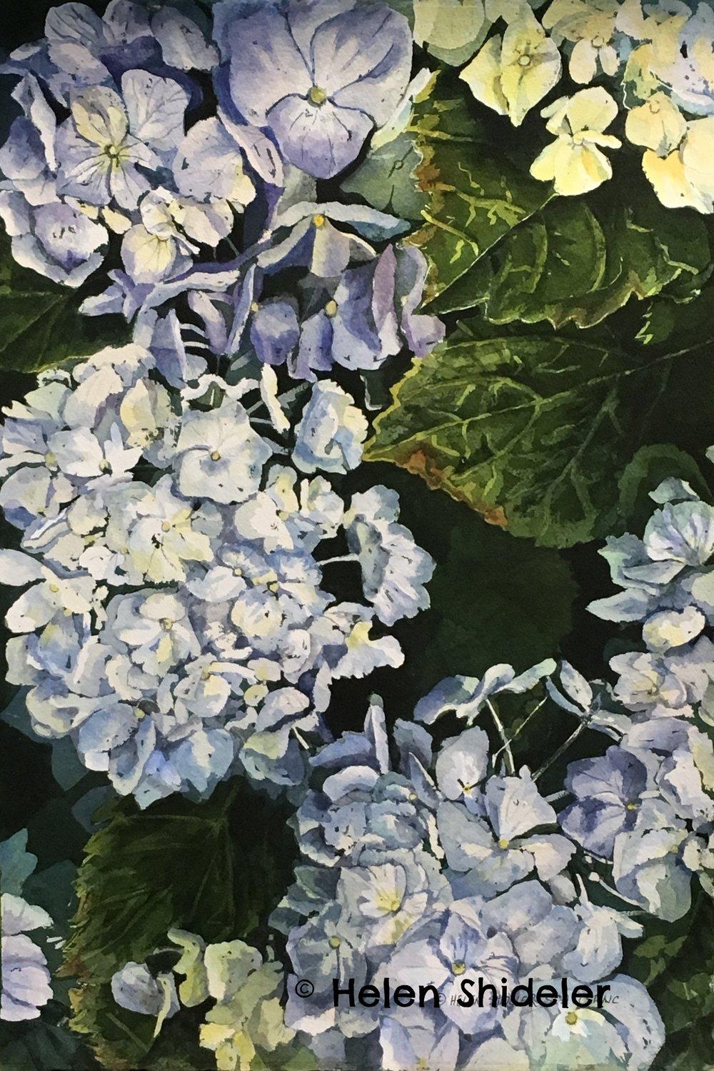 Blue Hydrangea painting by Helen Shideler
