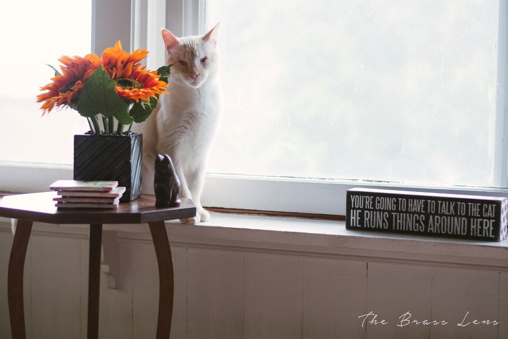 thebrasslens.safehavenpetsanctuary.cat.catrescue.greenbaypetrescue.nokill.nokillshelter.specialneedspet.