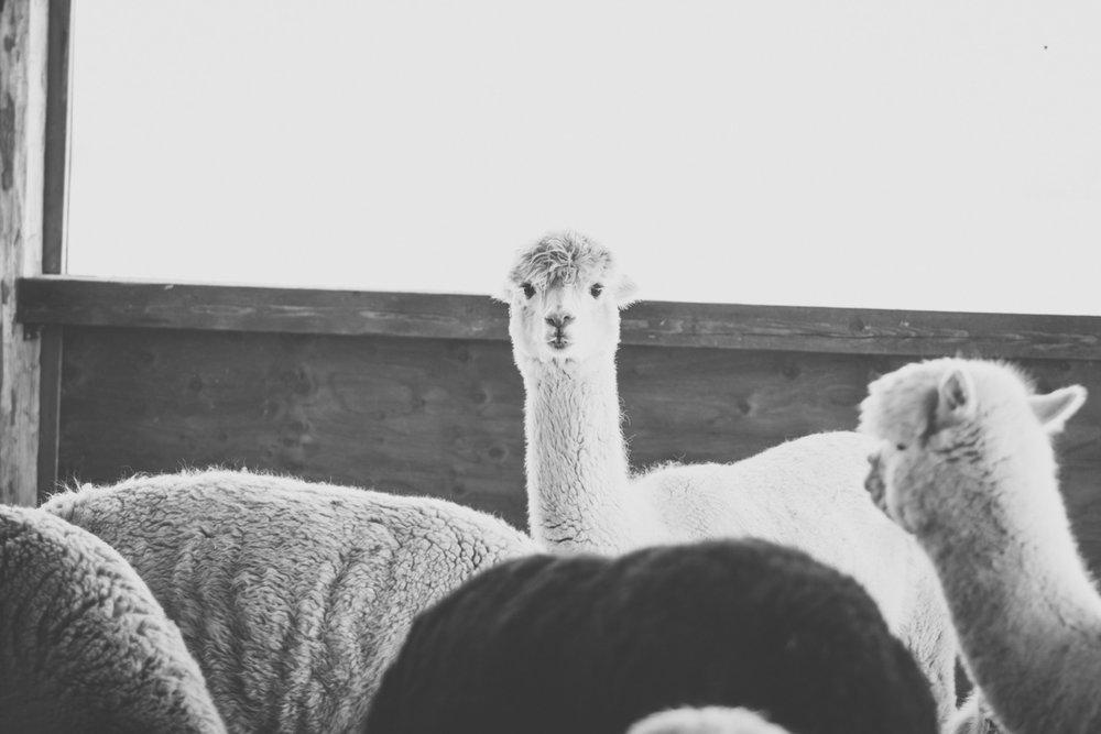 thebrasslens.sabambaalpacafarm.wisconsinalpacafarm.alpaca.alpacabreeder.wisconsinalpacabreeder.alpacaphotographer.alpacafiber.alpacaphotoshoot.nathanielhaban.