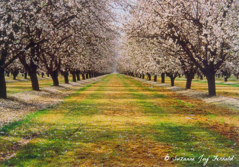 Almond Trees Path by Suzanne Joy Fernald