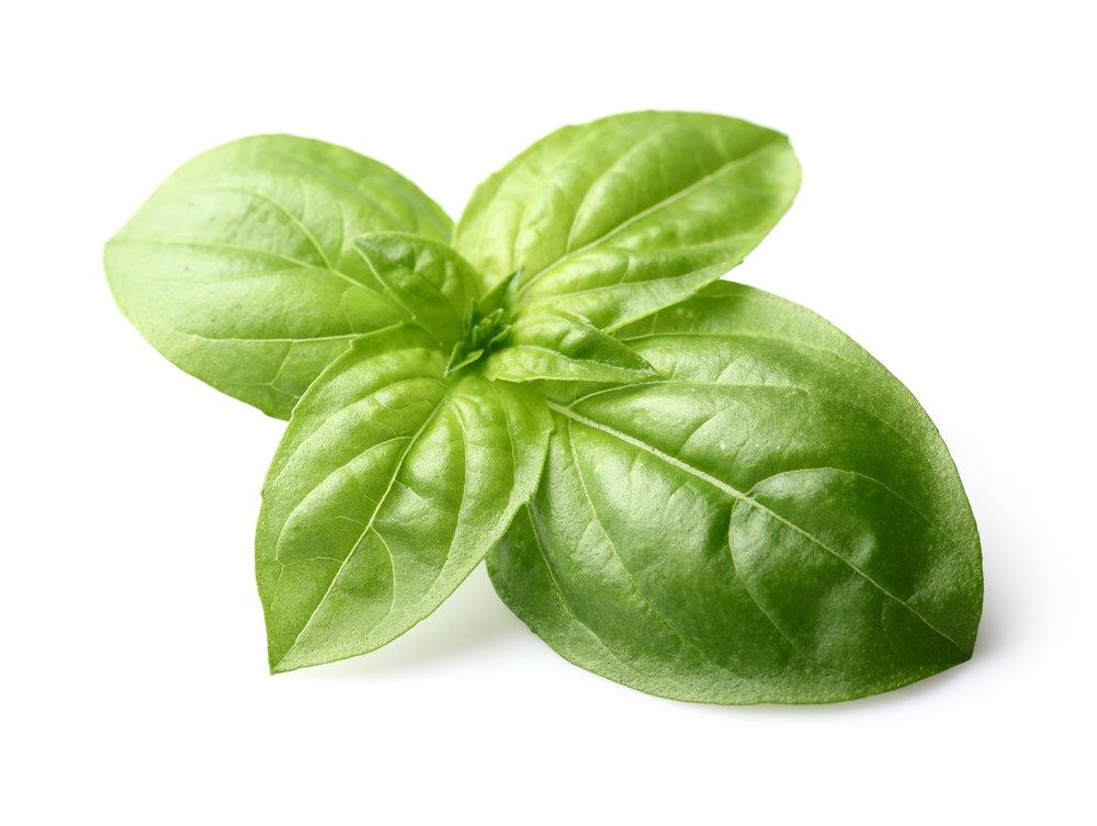 Large Leaf Basil