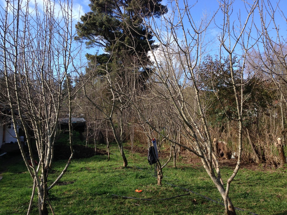 The apple orchard I'm pruning.