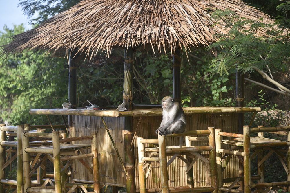 "Monkey checking out the new Tiki bar.  Let me guess, ""Banana Daiquiri?"""