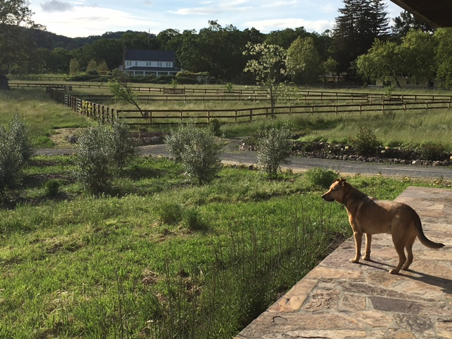 Dog #2:  Winston, looking regal as he surveys the property.