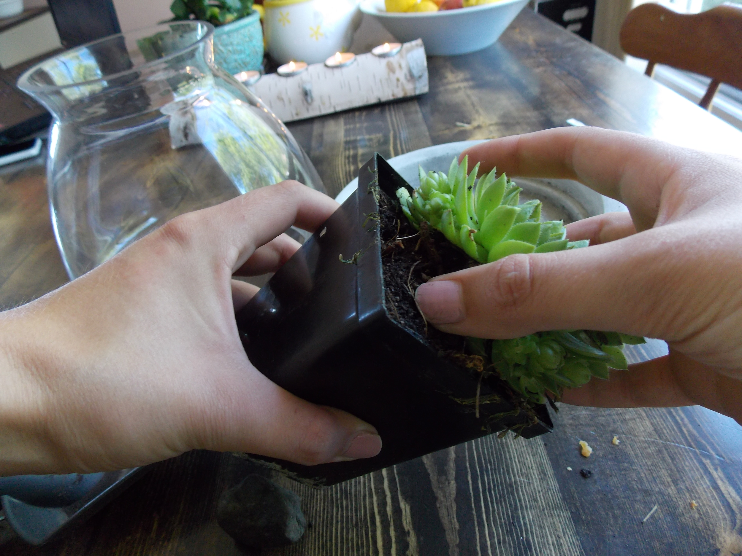 Squeeze the sides of the plastic container to loosen the plant, then pull from the top gently on a slant to pull the plant out of the container.