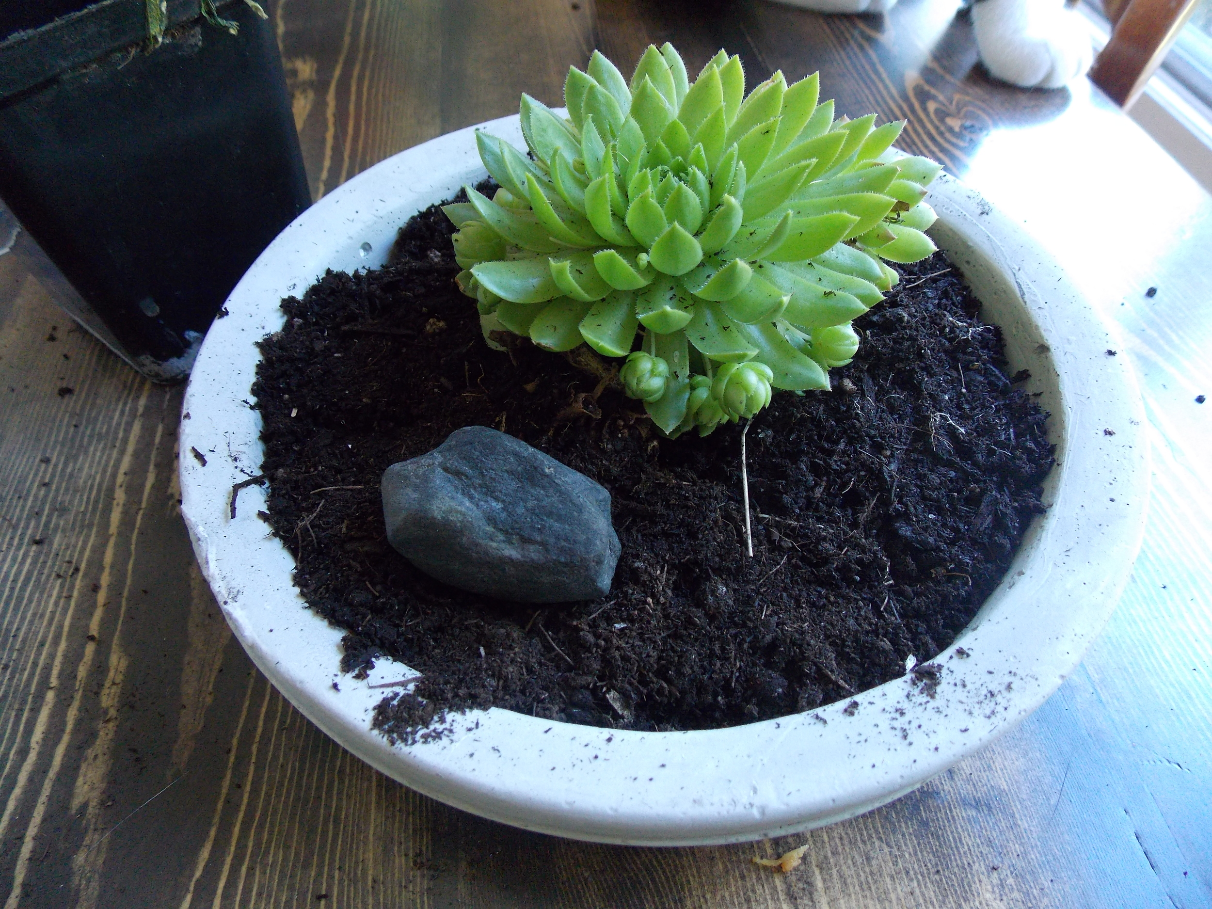 We added just one sentimental rock, but feel free to add a few, but make sure leave room for the succulent to spread! As you can see, ours has a few babies sprouting already!