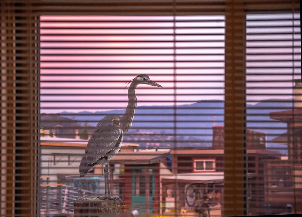 _DLB3785 Great Blue Through Blinds Small.jpg