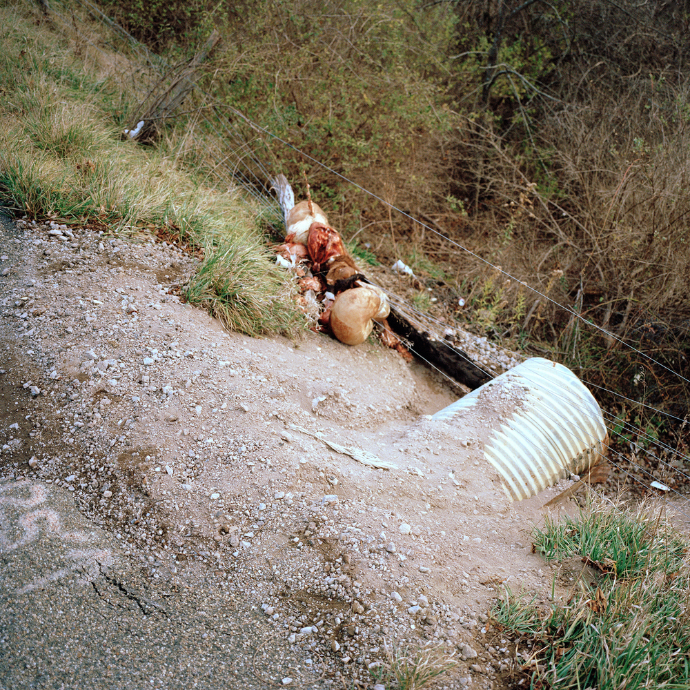 Gutted cow carcass dumped next to a storm drain pipe in Claysville PA